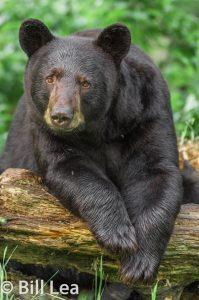 Black bear, Bill Lea